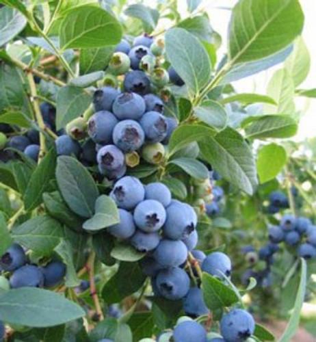Elliot Blueberry