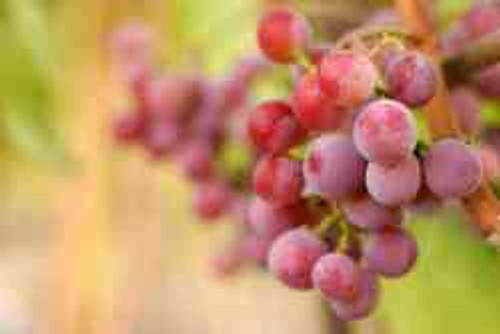 Blush Seedless Grape