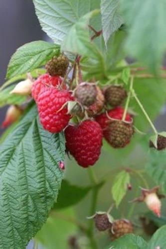 Chilcotin Raspberry