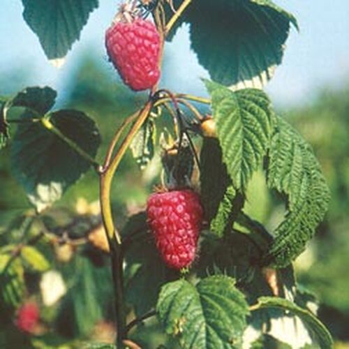 Chilliwack Raspberry