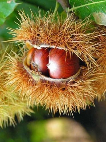 Bouche de Bétizac Chestnut