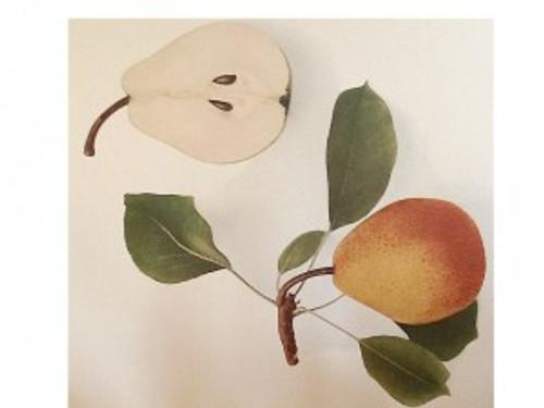 Beurre Diel Pear (semi-dwarf)