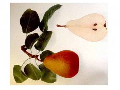 Beurre Hardy Pear