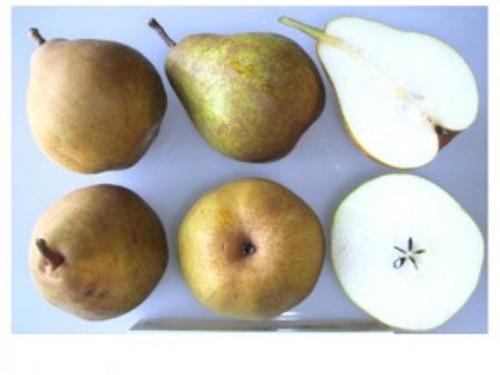 Doyenne Du Comice Pear (semi-dwarf)