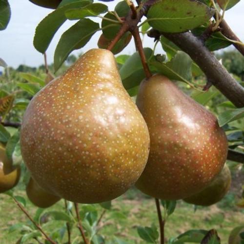 Durondeau Pear (semi-dwarf)
