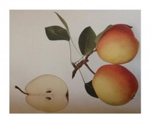 Flemish Beauty Pear (semi-dwarf)