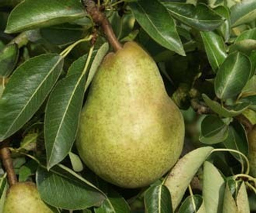Williams Pear (Bartlett)