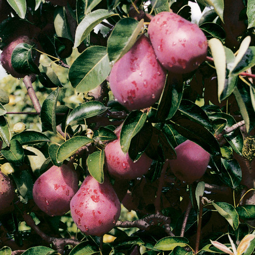 Williams Red Pear (semi-dwarf)