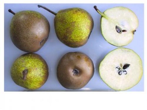Winter Nelis Pear (Bonne De Malines) (semi-dwarf)