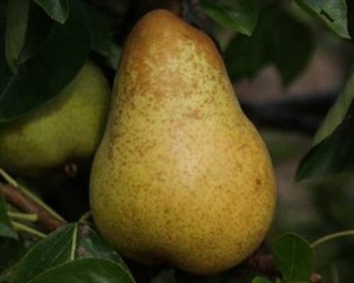 Yellow Huff-cap Perry Pear
