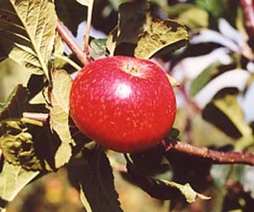 Beauty of Bath Apple (dwarf)