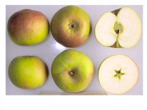 Blenheim Orange Apple (dwarf)