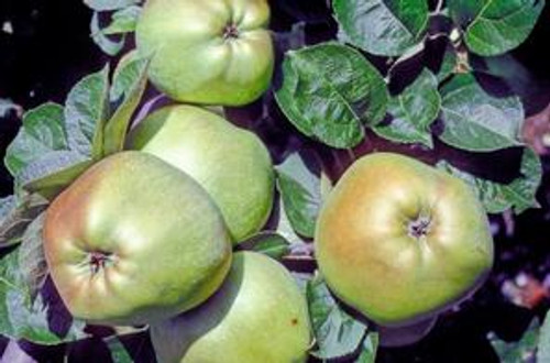Catshead Apple (dwarf)