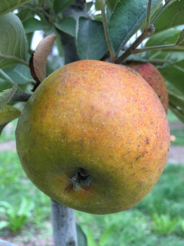 Court Pendu Plat Apple (dwarf)