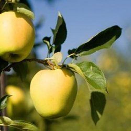 Ein Shemer Apple (dwarf)