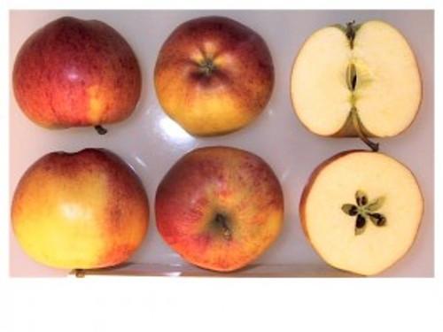 Gala Apple (dwarf)