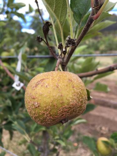 Golden Harvey Apple (dwarf)