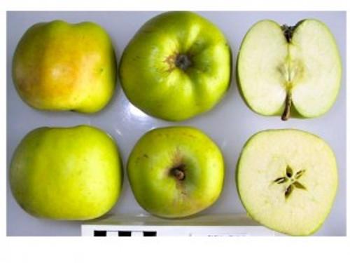 Gooseberry Apple (dwarf)