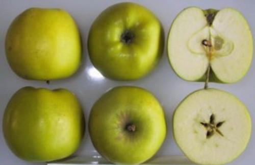 Grimes Golden Apple (dwarf)