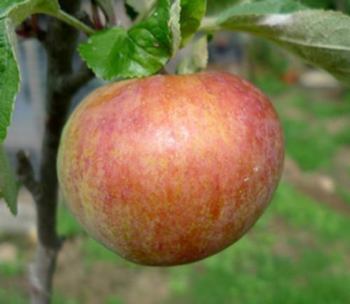 Irish Peach Apple (dwarf)