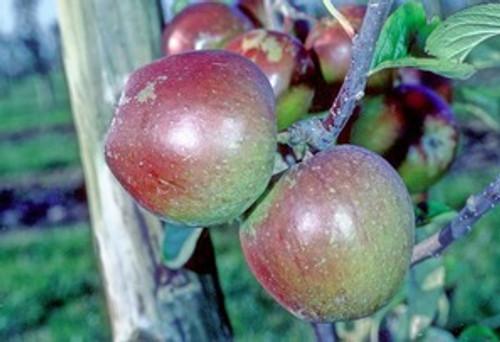 Rokewood Apple (dwarf)