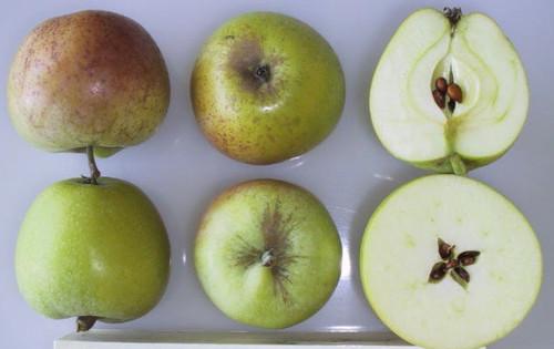Sweet Coppin Apple (dwarf)