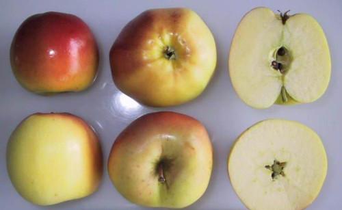 Winter Banana Apple (dwarf)