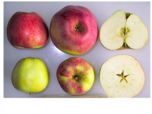 Alexander Apple (medium)
