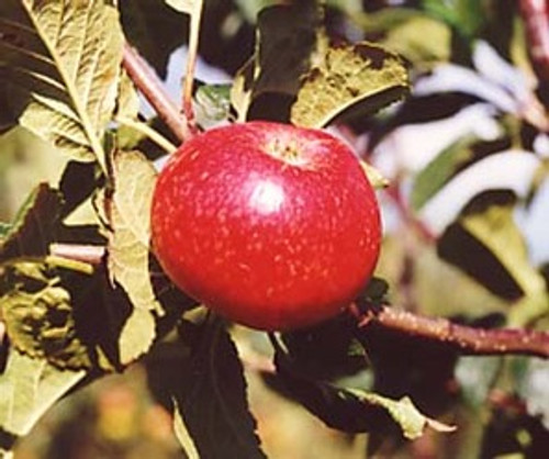 Beauty of Bath Apple (medium)
