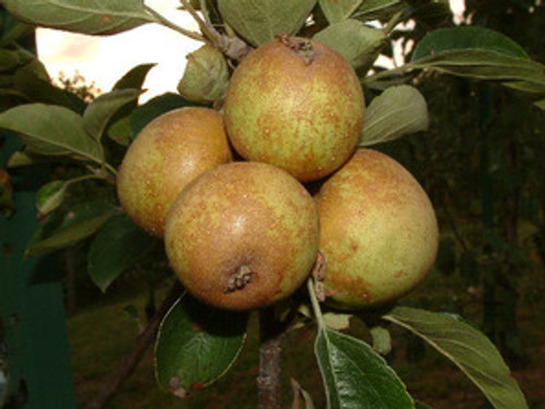 Brown Snout Apple (medium)