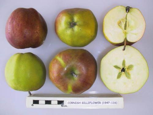 Cornish Gilliflower Apple (medium)