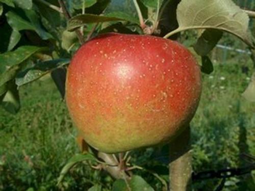 Esopus Spitzenburg Apple (medium)