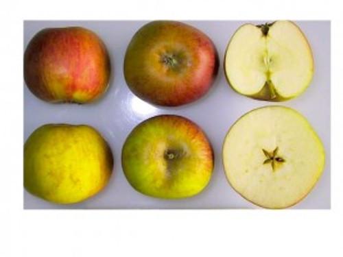 Ribston Pippin Apple (medium)