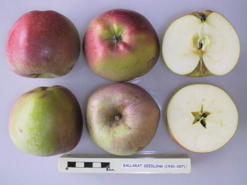 Stewarts Seedling (Ballarat Seedling) Apple (medium)
