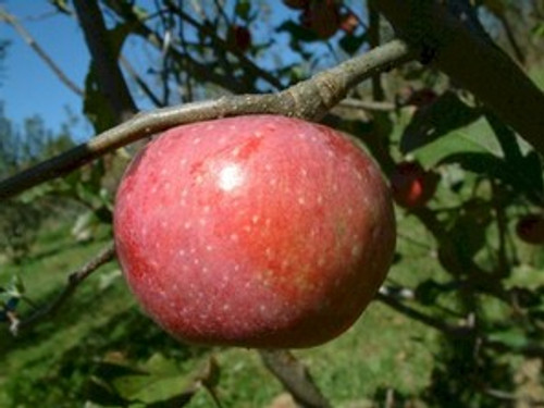 Yates Apple (medium)