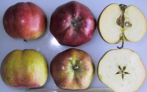 Tropical Beauty Apple (medium)