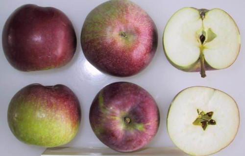 McIntosh Apple (medium)