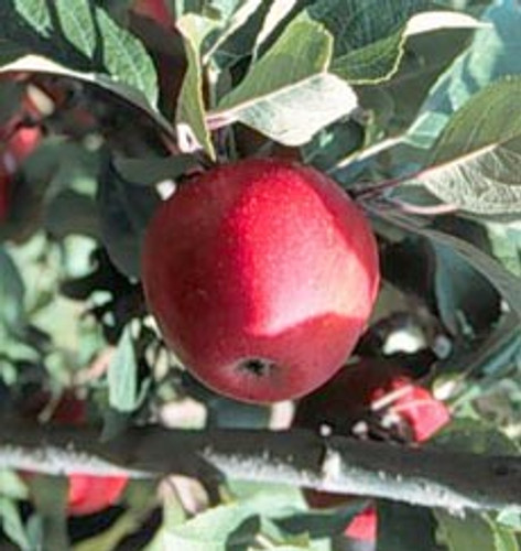 Tremlett's Bitter Apple (medium)