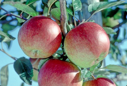Braeburn Apple (stepover)