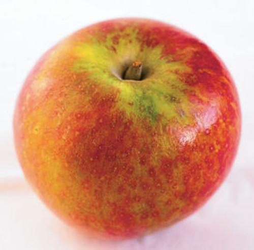 Cox's Orange Pippin Apple (stepover)