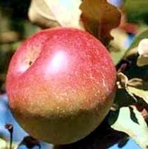 Snow Apple (Fameuse) Apple (stepover)