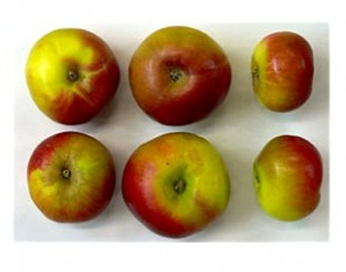 Chataingier Apple (tall)