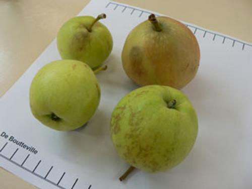 De Boutteville Apple (tall)
