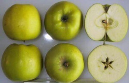 Grimes Golden Apple (tall)