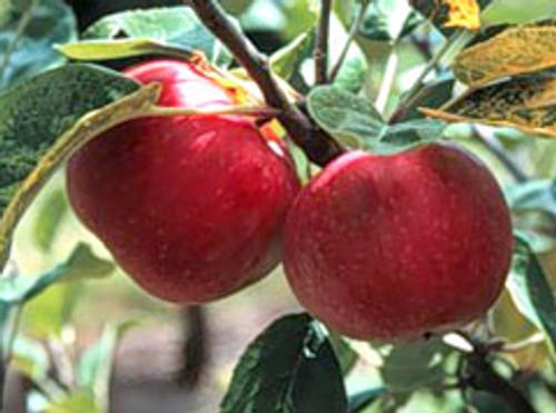 Improved Foxwhelp Apple (tall)