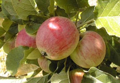 Yarlington Mill Apple (tall)