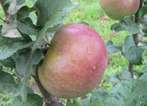 Belle Cacheuse Apple (tall)