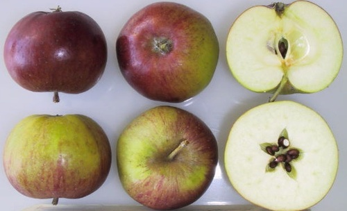 Dabinett Apple (tall)