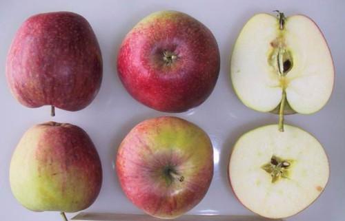 Bec d'Oie Apple (dwarf)