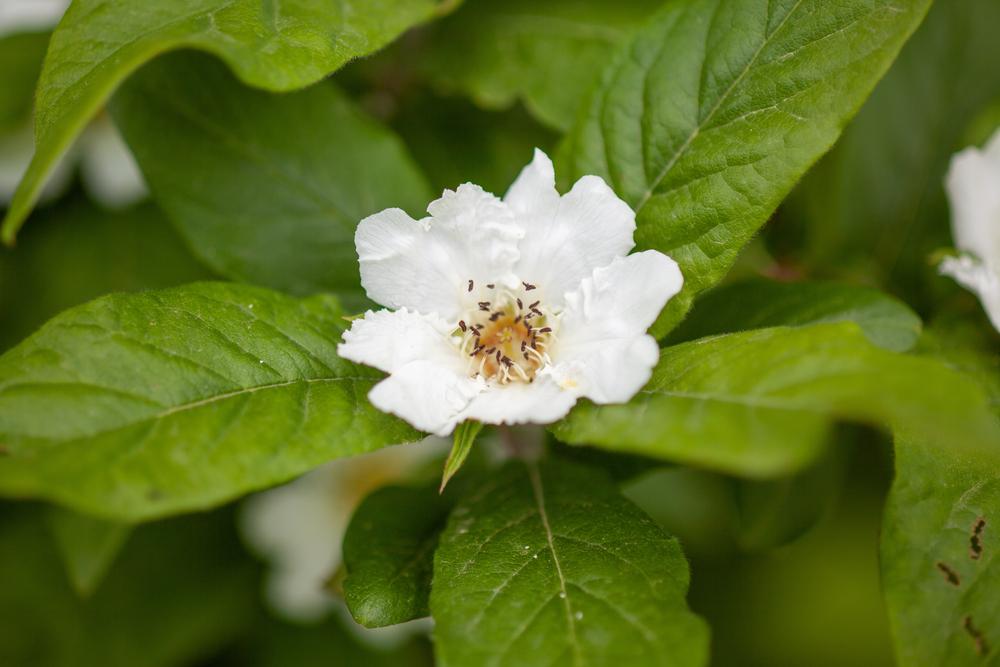 medlar-flower.jpg